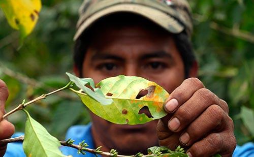 roya-afectaciones-a-produccion-de-cafe