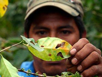 La roya del café en Guatemala