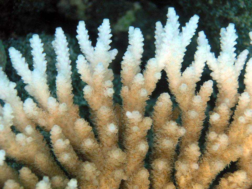 "The white tips on this coral are a reflection of ""bleaching"" and declining coral health. Photo by Oregon State University."