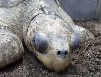 Brutality against animals persists in Guatemala: they beat a parlama turtle to remove its eggs