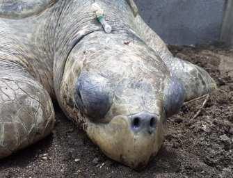 Brutalidad contra animales persiste en Guatemala: golpean a tortuga de parlama para quitarle los huevos