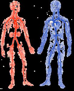 filogenia del sistemka circulatorio arterial