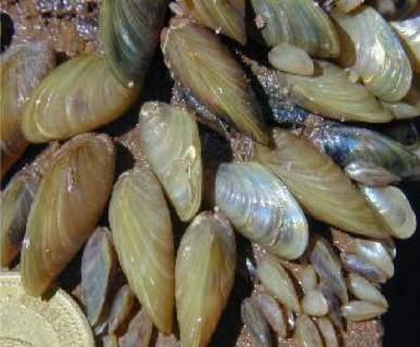 Mejillones dorados