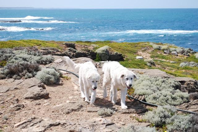 perros pastores de pinguinos 2