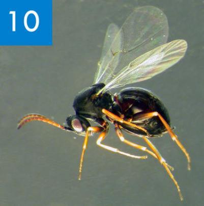 Dos-nuevas-especies-de-avispas-de-las-agallas-en-la-peninsula-iberica_image_380
