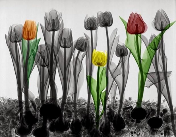 tulipanes rayos X