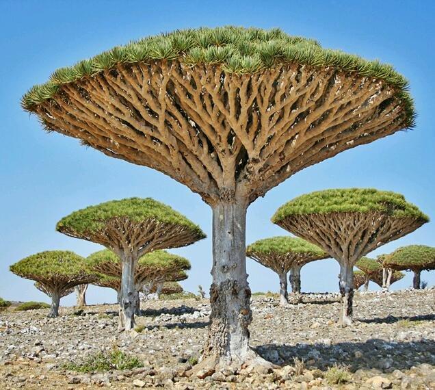 Árboles sangre de dragón, Socotra, Yemen