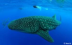 tiburon-ballena-santa-maria-azores