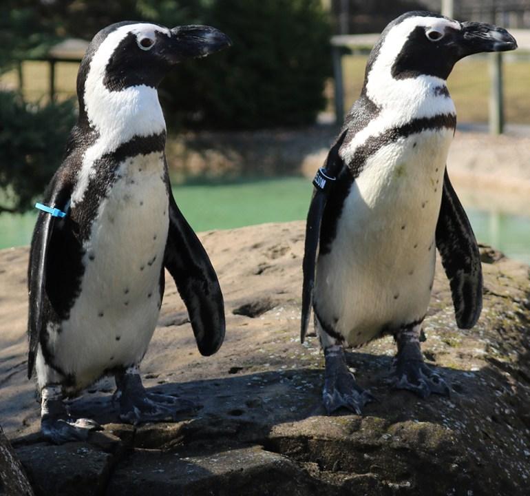Bro Penguin
