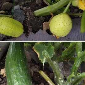 Cedar Spring Farm Cucumbers