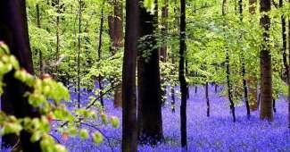 Bosque Azul de Hallerbos en Bélgica