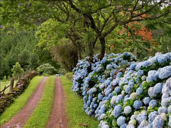 Hortensias en Gramado - Corredor de las hortensias