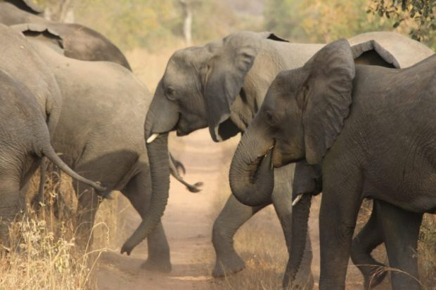 Poaching: Forest elephants are threatened with extinction  Can elephants ever recover from poaching? Elephants e1470954589910