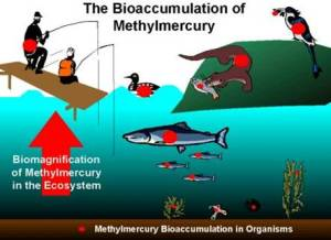 Bioaccumulation of Methylmercury. Source: imgarcade.com