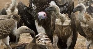 Vultures in Africa, Europe face extinction, BirdLife warns vulture2 300x236