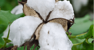 GM-Cotton  'How BT cotton will transform Nigeria's economy' Bt Cotton