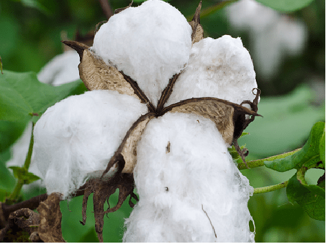 GM-Cotton  Researchers suspend Ghana GMO Cotton trials as Monsanto withdraws funds Bt Cotton