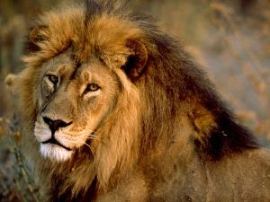 The African Lion. Photo: images.nationalgeographic.com