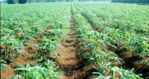 cassava_plantation-in-Rivers-State-Copy  Mechanisation boosts cassava yields in Nigeria, Zambia cassava plantation in Rivers State Copy
