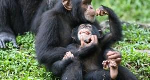 Chimpanzees  Greenpeace: Agribusiness firms destroying apes' rainforest habitat chimp zoo