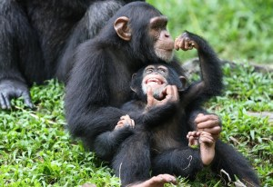 Chimpanzees. Photo credit: wired.com   Greenpeace: Agribusiness firms destroying apes' rainforest habitat chimp zoo 300x206