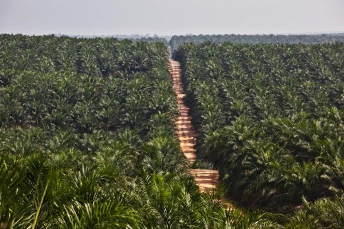 Palm oil plantation in Kalimantan. Photo credit: greenpeace.org  Palm oil firm's expansion in Borneo frozen over RSPO standards Plantation e1431058616718