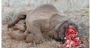 elephant-poaching  IUCN attributes vilest African elephant losses to poaching elephant poaching 4
