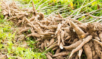 Freshly harvested cassava tubers. Photo credit: thisdayonline