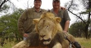 Lion  Cecil: Poachers slay five endangered elephants in Kenya Lion e1438228977683