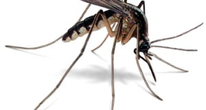 mosquito-malaria  World Malaria Day: Researcher suggests ways to improve diagnosis of ailment mosquito illustration 360x286