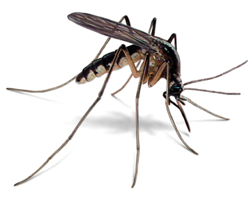 The mosquito, a malaria vector  Testing for malaria reduces over prescription by over 70% mosquito illustration 360x286