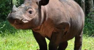 Ratu, a Sumatran rhino