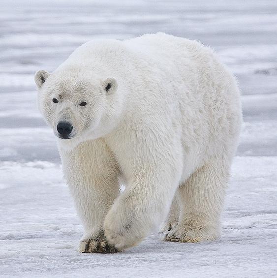 Polar bear. Photo credit upload.wikimedia.org  IUCN: Climate change threatens polar bear survival Polar Bear   Alaska cropped