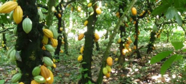 A cocoa plantation. Photo credit: thebreakingtimes.com