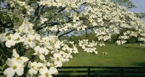 dogwood-tree  Earth Day 2016: UN plants American dogwood tree dogwood tree e1461610217965