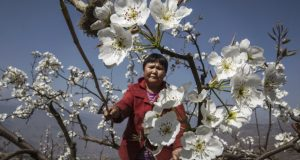Hanyuan County, Sichuan  Images: Manual flower pollination in China as bees disappear Bees1
