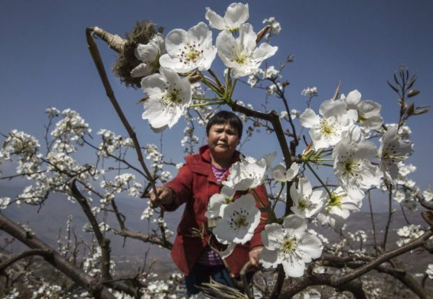 A Chinese farmer pollinates a pear tree by hand in Hanyuan County, Sichuan province, China. Photo credit: Kevin Frayer/Getty Images  Images: Manual flower pollination in China as bees disappear Bees1