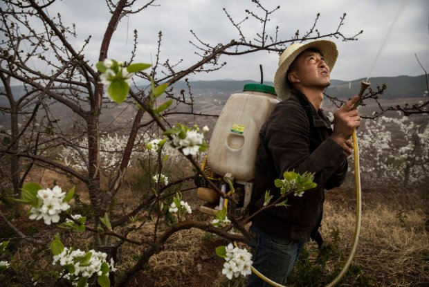 A Chinese farmer spays pesticide on an apple tree. Heavy pesticide use on fruit trees in the area caused a severe decline in wild bee populations, and trees are now pollinated by hand in order to produce better fruit. Farmers pollinate the pear blossom individually. Hanyuan County describes itself as the 'world's pear capital', but the long-term viability of hand pollination is being challenged by rising labour costs and declining fruit yields. Photo credit: Kevin Frayer/Getty Images  Images: Manual flower pollination in China as bees disappear Bees5