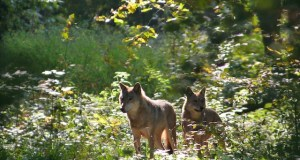 wolves  UNESCO, IUCN ask Poland to stop logging in Białowieża Forest wolves