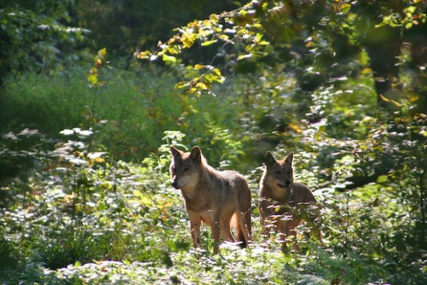Wolves In the Białowieża Forest, Poland. Photo credit: wildpoland.com  Poland to evaluate impacts of felling in Bialowieza Forest wolves