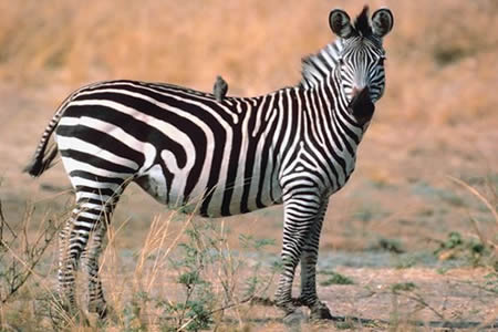 The latest IUCN Red List update also reports the decline of the Plains Zebra
