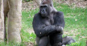 Gorilla  Gorilla, Zebra, Hawaiian plants critically endangered, says IUCN eastern gorillas e1473010062234