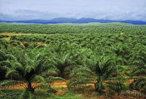 A palm oil plantation  Activists confront palm oil company, Golden Agri Resources palm oil 6