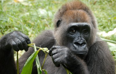 Nigeria president signs bill to protect endangered species into law Cross River Gorilla 1