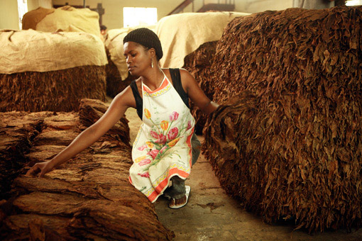 tobacco factory  Tobacco production hurts the environment, says WHO tobacco