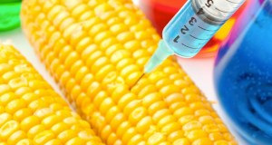 GM-Maize  Monsanto's GM drought-tolerant maize challenged in South African court Corn being injected