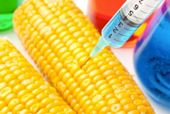 GM-Maize  South Africa rejects Monsanto's 'drought-tolerant' GM maize Corn being injected