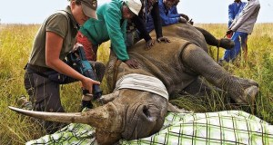 Dehorning-Rhino  South African court lifts ban on trade in rhino horns Dehorning Rhino