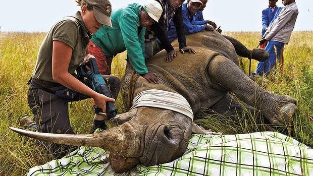 Dehorning-Rhino  South African court lifts ban on trade in rhino horns Dehorning Rhino