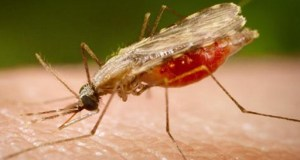 Malaria-anopheles